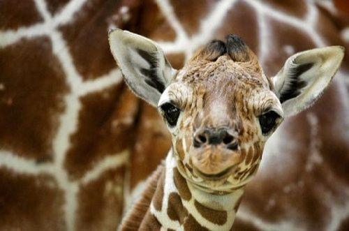 可爱图片:长颈鹿的卖萌表情