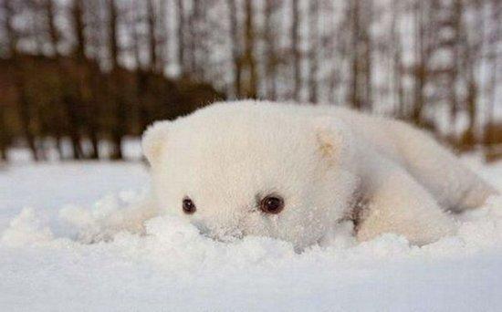 这只可爱的北极熊名叫siku,来自斯堪的纳维亚野生动物公园,照片里的它
