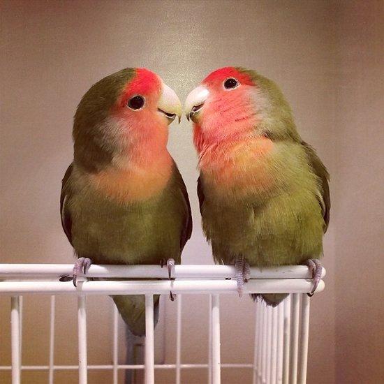 可爱图片:卖萌的小鹦鹉